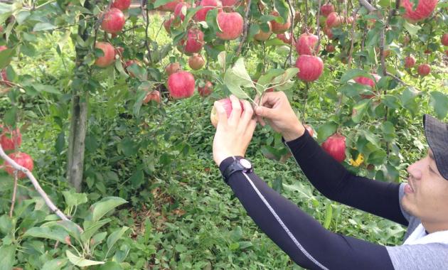 りんごのもぎ方