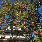 りんごの木