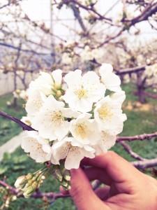 さくらんぼ開花