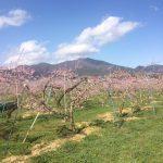 小野りんご園と高社山