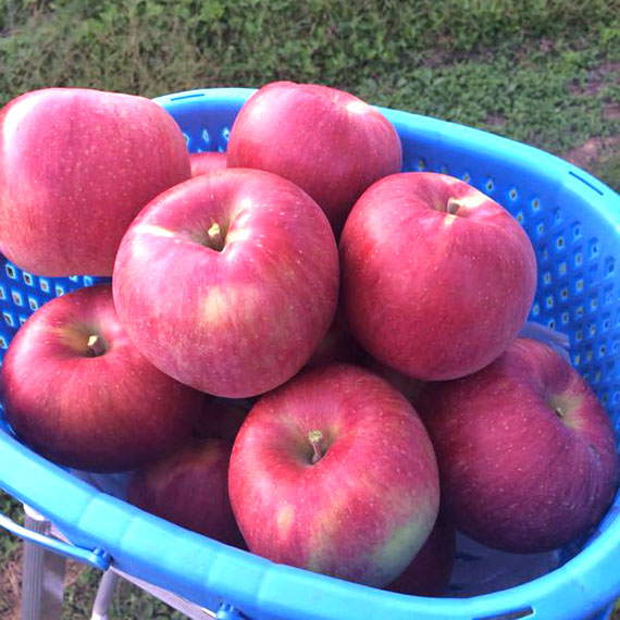 長野 りんご 狩り 時期